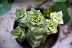(amanda estefania) Tags: plant green crassula variegata perforata