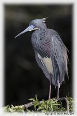 Tricolor (wesjr50) Tags: birds animals canon flash ii 7d beamer better mk avian rookery nests staugustineflorida breedingplumage tricolorheron wadingbirds staugustinealligatorfarm canonef100400mmf4556iszoom
