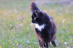 Leeloo, Queen of the garden (dfromonteil) Tags: animal cat wow feline chat bokeh katz cc2000