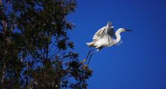 Take off (F.emme) Tags: birds snowyegret egrets