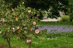 Royal Greenhouses Brussels (Natali Antonovich) Tags: nature landscape spring belgium belgique belgie blossom tradition laeken royalgreenhouses royalgreenhousesoflaeken royalgreenhousesbrussels enamouredspring