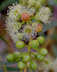 Eucalyptus lane-poolei, Kings Park, Perth, WA, 24/03/16 (Russell Cumming) Tags: plant perth eucalyptus kingspark westernaustralia myrtaceae eucalyptuslanepoolei