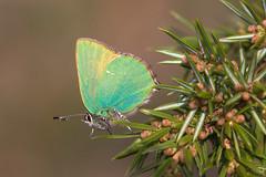 Grne Zipfelfalter (Callophrys rubi)_Q22A0542-BF (Bluesfreak) Tags: taubertal schmetterlinge callophrysrubi tagfalter tauberfranken grnezipfelfalter