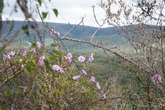 Convuvulaceae (alcesterdiego) Tags: brasil bahia pedra redonda serto caatinga semirido caetit convuvulaceae