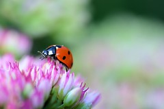 Ladybird in Summer Garden (pallab seth) Tags: park uk summer flower macro london garden bokeh insects ladybugs ladybirds ladybeetles coccinellidae coccinellaseptempunctata nikond7000 tamronaf90mmf28dispam11macrolens thesevenspotladybird