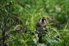 cardellino (Andrea Deiana) Tags: bird nature animals sony natura uccelli tamron animali tamron70300 sonyalpha cardellino sonyalpha390