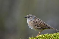 Heckenbraunelle (rolandwittenberg) Tags: vogel singvogel heckenbraunelle