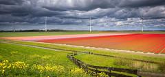 Tulip fields ( Jenco van Zalk) Tags: holland netherlands dutch fence colorful tulips windmills tulip typical rainclouds tulpen tulp