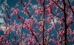 Springy (Marc_714) Tags: blue sky color virginia spring colorful magenta marc714
