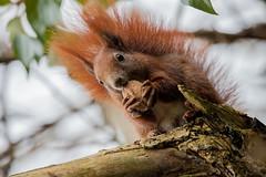 Egon is dead (' A r t ') Tags: animal dead denmark squirrel raw headshot nut egon squirel cammelbeeck arthurcammelbeeck artcammelbeeck wwwflickrcomphotosartcammelbeeck camelendk