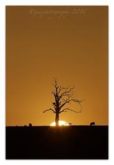 Tonight's Sunset.. (cheffievrs) Tags: sunset silhouette canon landscape sheep fullframe warwickshire lonetree 1dx borderfx 600mmf4lis lambss
