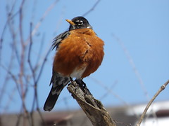 Red Crested Robin 1 (car show buff1) Tags: flowers blue sunset red canada nature robin landscapes woodpecker jay waterfront tulips cardinal dove flag wildlife trails finch chipmunk sparrow daffodil marigold crested oakville ravines on