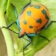 Jewel bug (judith511) Tags: bug beetle hemiptera jewelbug tectocorisdiophthalmus scutelleridae hibiscusharlequinbug naturethroughthelens