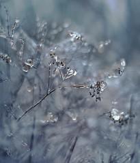Ice storm 6 (Franci Van der vyver (Carmen Tulum)) Tags: winter ice icestorm freezingrain spirea