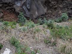 Oleanderblättrige Kleinie, Barranco del Carmen, Santa Cruz de La Palma, NGID751220347 (naturgucker.de) Tags: kleinianeriifolia naturguckerde cwolfgangkatz 1038097865 1062798284 oleanderblättrigekleinie 1636668835 ngid751220347