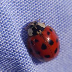 2016-04-12-001-MaMa - Augsburg - FH - 0043 - C00001 - Cp 1-1 - Pz50 - Q80 (mair_matthias_1969) Tags: macro animal insect lumix outdoor panasonic ladybug nophotoshop makro insekt tier marienkfer g7 g70 mft retroadapter extensionrings umkehrring zwischenringe retroadaptor nodirtytricks microfourthirds dmcg7 lumixg7 lumixg70 dmcg70 gvario14140f3556 ohneschmutzigetricks keineschmutzigentricks automaticadaptor automaticmountextender automatikadapter automaticextender automatischerextender