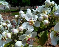 peral en flor (beelen94) Tags: flores primavera peral huerta ptalos peralenflor