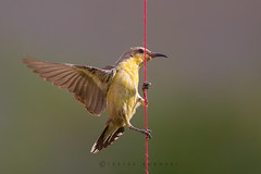 Sunbird acrobatics (Irtiza Bukhari) Tags: pakistan nature beauty female purple bokeh wildlife ngc acrobatics dslr wwf sunbird naturephotography bukhari naturelover natgeo wildbird discovry naturesphotography sunrisethismorning irtiza irtizabukhari natureiffab