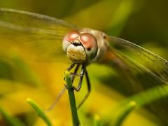 dragonfly sleeping on persoonia (piggsyface) Tags: macro dragonfly olympus brisbane tokina raynox raynoxdcr150