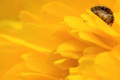 Jumping Spider on Yellow Chrysanthemum :  (Dakiny) Tags: plant flower macro tree nature yellow japan bug insect spider spring nikon blossom bokeh outdoor april yokohama kanagawa chrysanthemum aoba 2016 d7000 nikonclubit afsnikkor50mmf18g nikonafsnikkor50mmf18g obacho