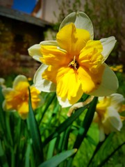 Narciso (Miamy7) Tags: flowers flores macro narciso macrounlimited