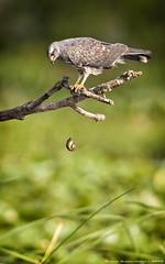 Snail Kite (sumo1664) Tags: usa kite nature birds nikon florida wildlife teleconverter birdsofprey snailkite rostrhamussociabilis nikkor300mm28 nikond300s tc20iii