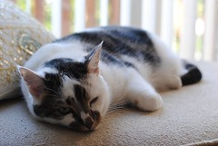 Jô having his cat nap (zawtowers) Tags: cute cat 50mm feline nap sitting sleep adorable kitty rest resting relaxed fifty jô afsnikkor50mmf18g