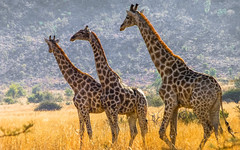 Girafe, South Africa (nicolas.paidassi) Tags: africa south girafe
