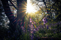 Bluebells & Golden Hour (sara.wendelmelhuish) Tags: blue sunset sun flower london floral woods dusk greenwich meadow bluebell goldenhour eltham