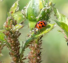 Dinning out today.. (Omygodtom) Tags: macro nature bug insect outdoors nikon natural bokeh wildlife scene ladybug raid aphid tamron90mm d7100 simpleflowers elitebugs