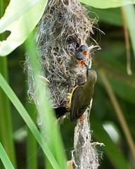 20160401-EM1X4708 (shutterblades) Tags: bird feeding nesting nests sunbirds gardensbythebay olympusem1 olympusmzuiko300mmf4pro