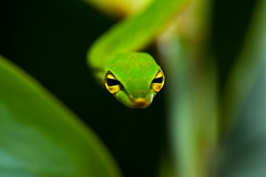 green-vine-snake (Sinu S Kumar) Tags: india green photography corporate snake contest vine