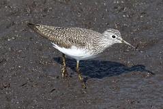Solitary Sandpiper (btrentler) Tags: bird wildlife watching tringa sandpiper solitary birder solitaria