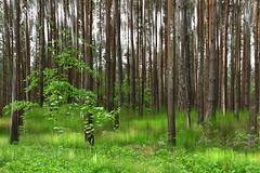 Verspieltes Waldstück (Panasonikon) Tags: wald grün doppelbelichtung panasonikon explore bewegungsunschärfe landschaft landscape forest panasonic dmcfz1000
