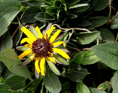 First blackeyed Susan of the year (pegbent) Tags: flowers psp washington spring april blooms blackeyedsusan kennewick 2016 olympussp100