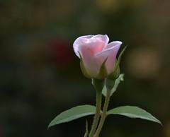 Calendimaggio (giorgiorodano46) Tags: pink nikon bokeh may rosa 2016 maggio2016 giorgiorodano