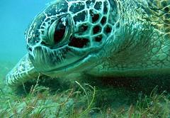 Karetschildpad - Hawksbill sea turtle - Eretmochelys imbricata (By Yves) Tags: red sea egypt diving hurghada trurtle