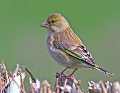 Greenfinch ...female... (4gyp) Tags: finch greenfinch