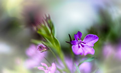 Pop in the garden (frederic.gombert) Tags: pink blue light red summer sky sun sunlight flower color macro green colors spring nikon purple sweet bokeh 105 greatphotographers d810 macrodreams