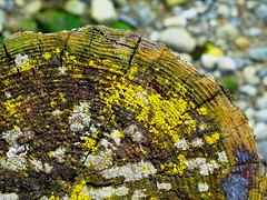The rings of time (peggyhr) Tags: canada black green yellow vancouver grey moss dof bc stones textures stump lichen treerings thegalaxy 25faves peggyhr allkindsofbeauty thelooklevel1red thelooklevel2yellow thelooklevel3orange mothernature dsc04343a