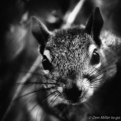 In your face (DonMiller_ToGo) Tags: blackandwhite bw nature animals blackwhite squirrel florida wildlife nik bwphotography blackandwhitephotography onawalk d5500 millerville
