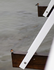 Welcome Swallows on a rainy day (Hirundo neoxena) (adamhanley751) Tags: pier australia brisbane queensland shorncliffe