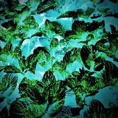 Mint leaves (HSS) (Caroline Oades) Tags: leaves doubleexposure mint inverted herb kitchengarden postprocessing hss enlight hipstamatic slidersunday