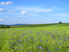 time when the blue prevails... (All Shine) Tags: blue landscape cornflowers