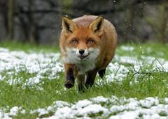 Flo in the snow. (Chris Sweet 85) Tags: nature nikon fox bwc redfox earthnaturelife nikon7100