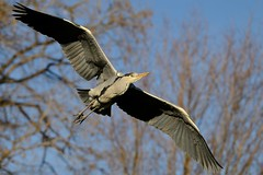 Heron 2 (psnikon) Tags: bird heron animal nikon sigma tier vogel wilhelma reiher nikonphotography d800e nikond800e sigma150600s