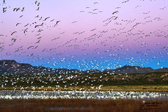 SNOW GEESE (Aspenbreeze) Tags: morning mountains newmexico bird nature water birds am wildlife ngc bosquedelapache daybreak flocks wildbirds dwan flockofwildbirds aspenbrreeze moonandbackphotography evzuerlein