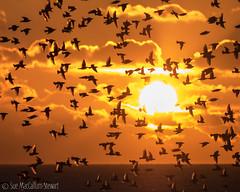 Sundance (Sue MacCallum-Stewart) Tags: sun nature birds sussex coast brighton starlings murmuration