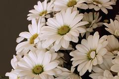 Daisies (s_gulfidan) Tags: daisy 200faves saariysqualitypictures