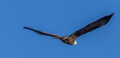 IMG_4139 (Scott Martin - Photographer) Tags: canada calgary baldeagle alberta birdinflight inglewoodbirdsanctuary